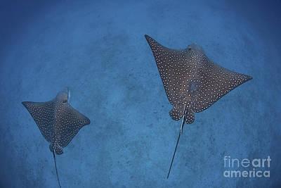 Batoidea Photograph - Spotted Eagle Rays Swim by Ethan Daniels
