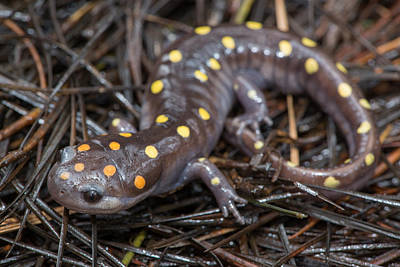 Salamanders Photograph - Spotted Salamander by Derek Thornton