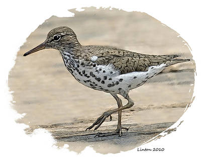 Sandpiper Digital Art - Spotted Sandpiper by Larry Linton
