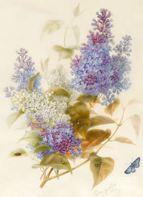 Watercolour Drawing - Spray Of Lilac by Pauline Gerardin