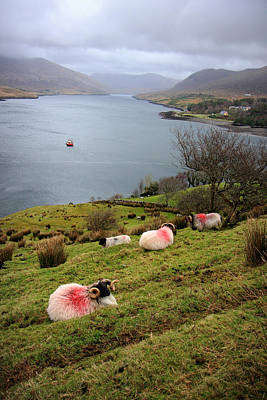 Connemara Photograph - Spray Painted Sheep Ireland by Pierre Leclerc Photography