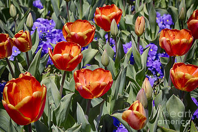 Flower Photograph - Spring Beauty 3 by David Millenheft