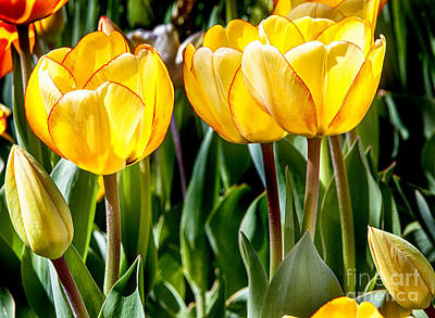 Tulips Photograph - Spring Beauty by David Millenheft