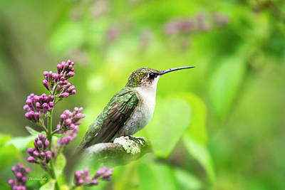 Spring Beauty Ruby Throat Hummingbird Print by Christina Rollo