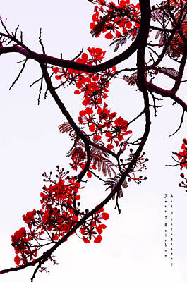 Spring Bloosom In Maldives. Flamboyant Tree Print by Jenny Rainbow