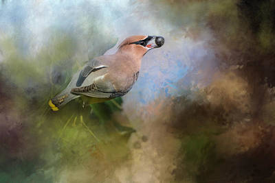 Cedar Waxwing Photograph - Spring Blue Berry Treat by Jai Johnson