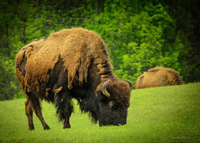 Bison Photograph - Spring Buffalo by LeeAnn McLaneGoetz McLaneGoetzStudioLLCcom