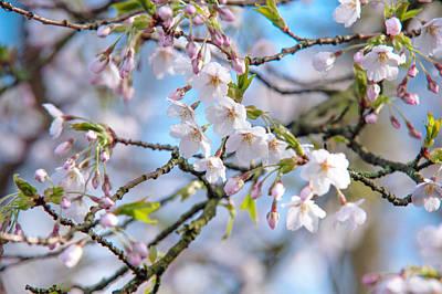 Spring Cherry Blossom Print by Jenny Rainbow