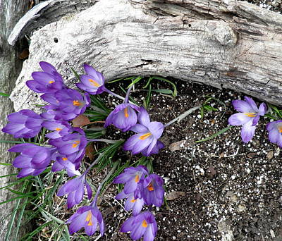 Spring Crocuses And Driftwood Print by Kate Gallagher