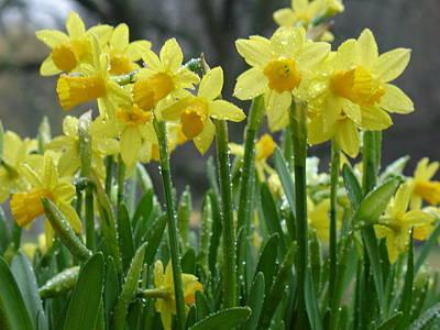 Spring Daffodils Original by Geralyn Palmer