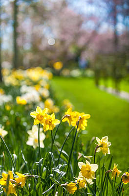 Spring Daffodils In Keukenhof Garden Print by Jenny Rainbow