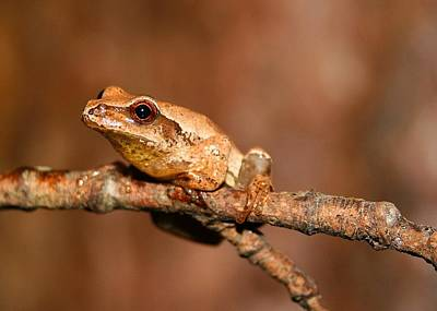 Spring Peepers Photograph - Spring Peeper by Brian Bastarache