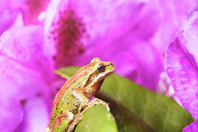Spring Peepers Photograph - Spring Peeper Frog Inside Of Wild Flowers During Bright Daylight by Thomas Baker