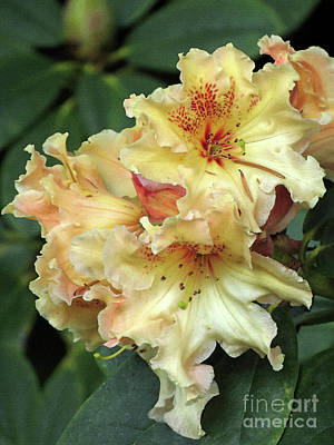 Rhododendron Photograph - Spring Rhododendron Truss by Chris Anderson