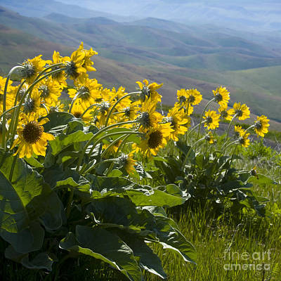 Spring Sunflowers Print by Idaho Scenic Images Linda Lantzy