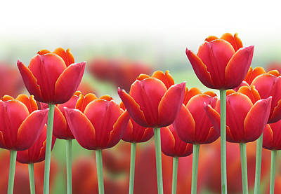 Photograph - Spring Tulip Flower Background by Angela Waye