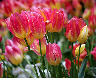 Tulips Photograph - Spring Tulips In The Rain by Rona Black