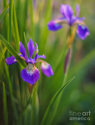 Irises Photograph - Springs Irises Beauty by Mike Reid