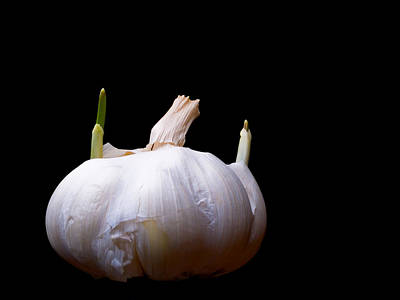 Light Lunch Photograph - Sprouting Garlic by Jim DeLillo