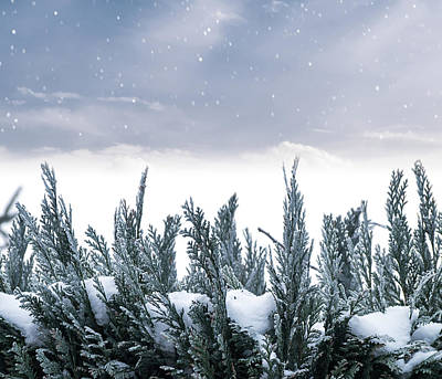 Spruce In Snow Print by Wim Lanclus