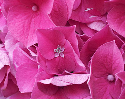 Hydrangea Photograph - Spruce Street Hydrangea by Rona Black