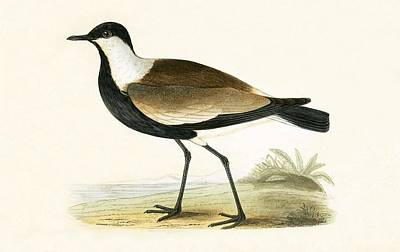 Lapwing Drawing - Spur Winged Plover by English School