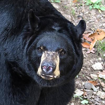 Fall Photograph - Square Bear Stare by John Haldane