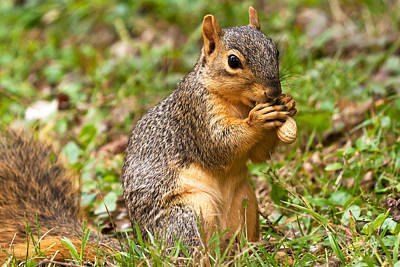 Squirrel Eating A Peanut Print by James Marvin Phelps