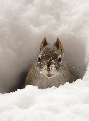 Squirrel In A Snow Tunnel Print by Stanza Widen