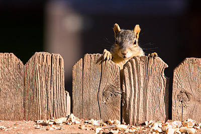 Squirrel On The Fence Print by James BO  Insogna