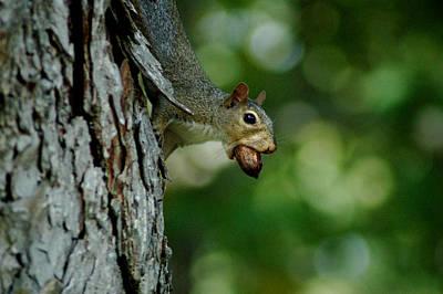 Photograph - Squirrel Portrait by David Weeks