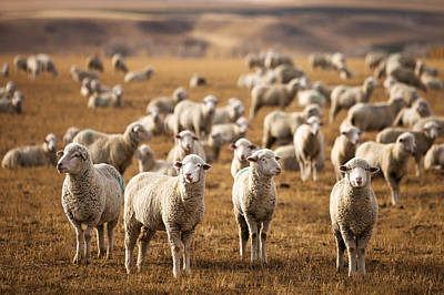 Sheep Photograph - Standing Out In The Herd by Todd Klassy