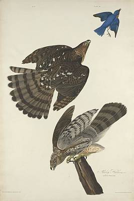 Hawk Drawing - Stanley Hawk by John James Audubon