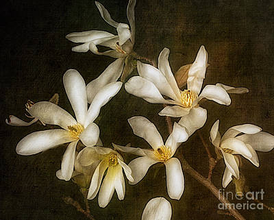 Flypaper Textures Photograph - Star Magnolia by Ann Jacobson