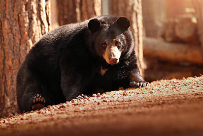 Bear Photograph - Staredown by Rob Blair