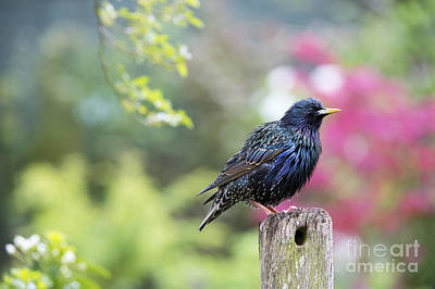 Starlings Photograph - Starling  by Tim Gainey