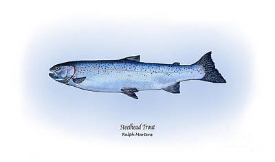 Angling Drawing - Steelhead Trout by Ralph Martens