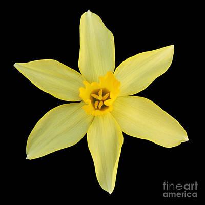 Petals Photograph - Stella Daffodil by Judy Whitton