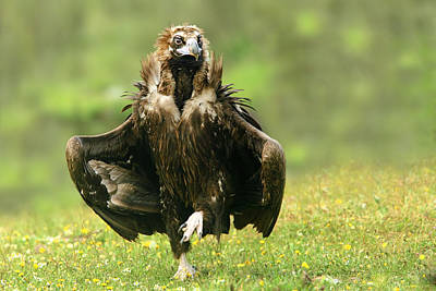 Vulture Photograph - Step Dancing by Nicolas Merino
