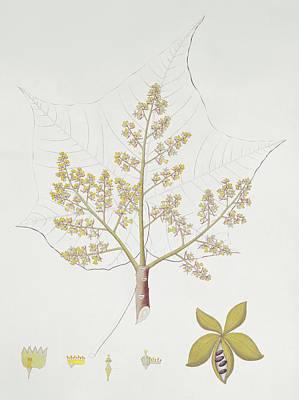 Natural Art Drawing - Sterculia Urens by English School
