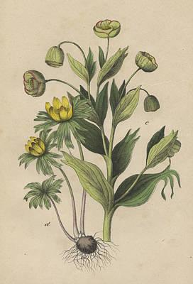 Stinking Hellebore Print by German Botanical Artist
