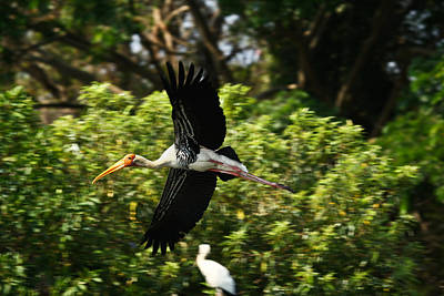 Stork Photograph - Stork In Flight by Nila Newsom