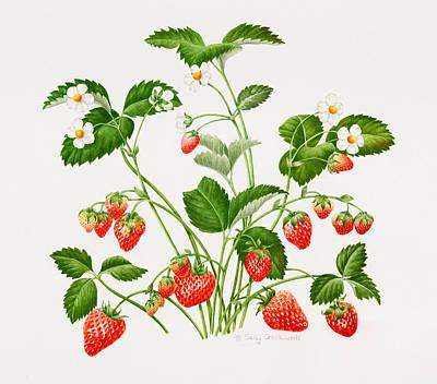 Strawberry Drawing - Strawberry Plant by Sally Crosthwaite