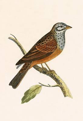 Striolated Bunting Print by English School