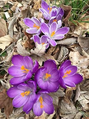 Spring Bulbs Painting - Striped Beauty And Purple Sensation Crocuses by Randol Burns