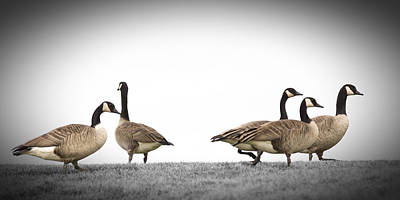 Geese Photograph - Struttin' Our Stuff by Mike Braun