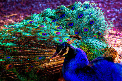 Peacock Photograph - Strutting His Stuff by David Patterson