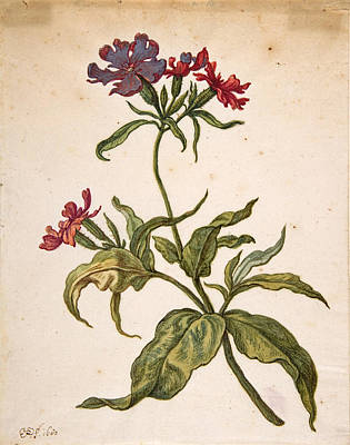Drawing - Study Of A Red Catchfly. Lychnis Hirsuta by Herman Saftleven