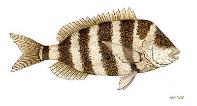 'study Of A Sheepshead' Print by Thom Glace