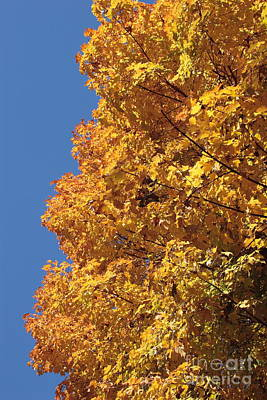 Sugar Maple And Blue Sky Print by Morgan Hill